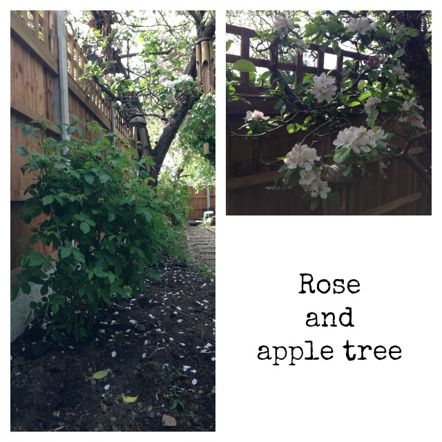 David Austin Rose, Apple tree, blooming apple tree, gardening, secretgardenhome