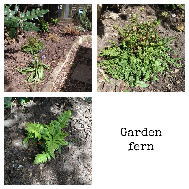 Garden fern, plants for shady garden, secretgardenhome