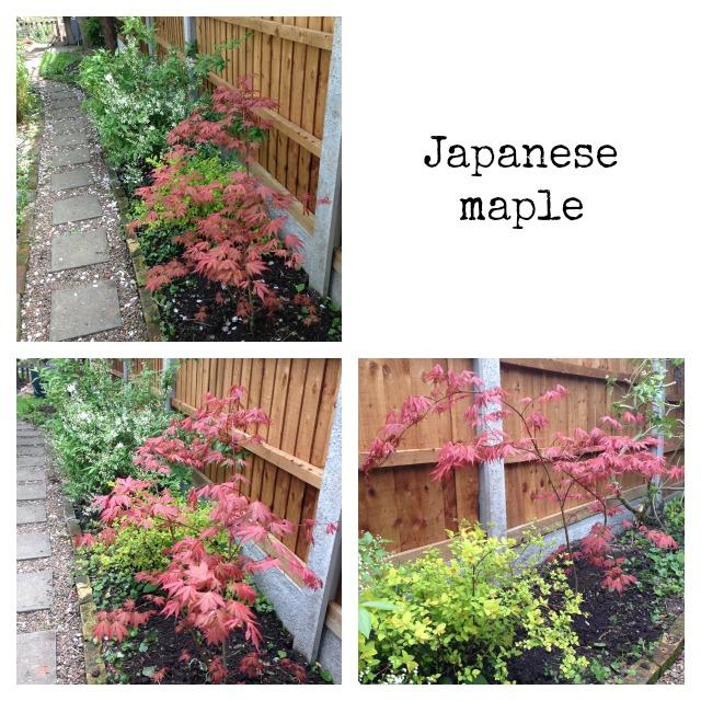 Japanese maple, Acer palmatum, Ariadne, salmon pink, gardening, secretgardenhome
