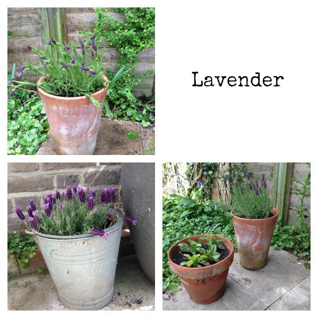 Lavender in pots, gardening, garden, secret garden home