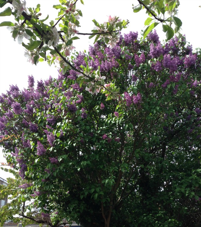 Lilacs tree in secretgardenhome; garden