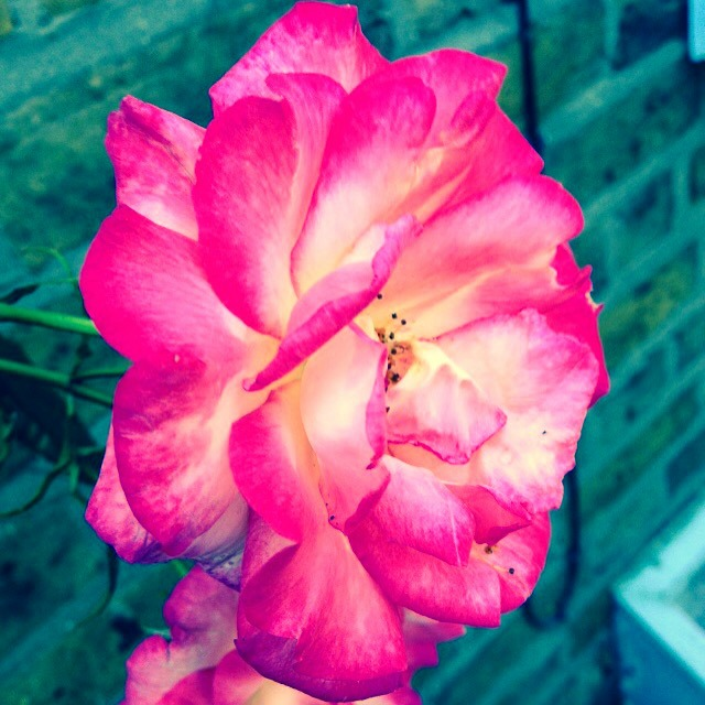 Pink and white rose, rose garden, secretgardenhome