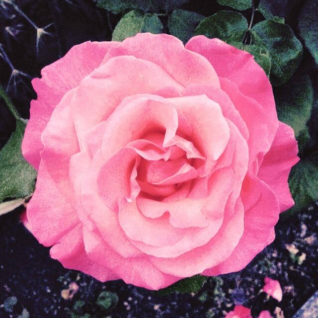 Pink rose, rose garden, secretgardenhome